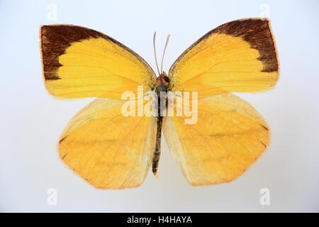 Spotless grass yellow(Eurema laeta) specimen isolated - Stock Photo