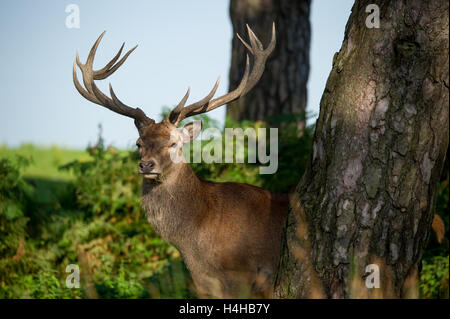 Red Deer Stag. Hiding behind a large tree - Stock Photo