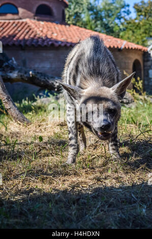 Laughing Striped hyena - Hyaena hyaena - Stock Photo