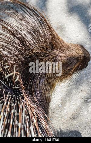 Crested porcupine close up - Hystrix cristata - Stock Photo