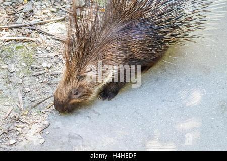 Crested porcupine  - Hystrix cristata - Stock Photo