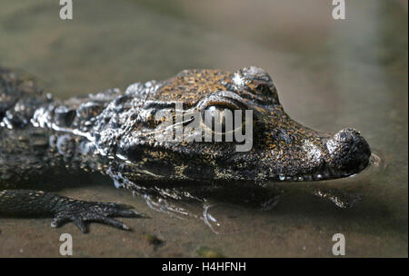 Baby West African Dwarf Crocodile (osteolaemus tetraspis) - Stock Photo