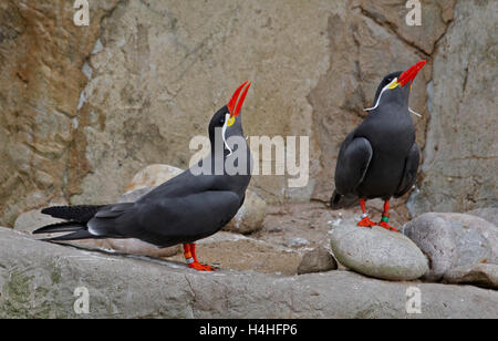 Pair of Inca Terns (larosterna inca) - Stock Photo