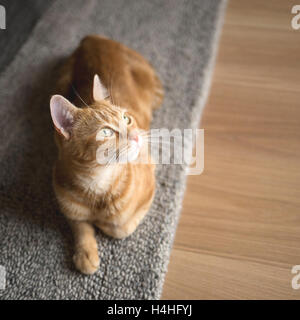 A ginger cat, lying on a gray floor rug looking away from camera - Stock Photo