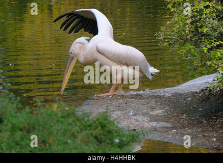 Pelican(Pelecanus onocrotalus) stretching beside a pool of water. - Stock Photo