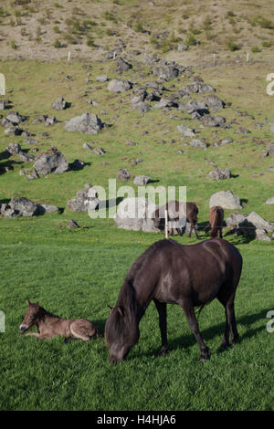 Mare and Foal, Iceland - Stock Photo