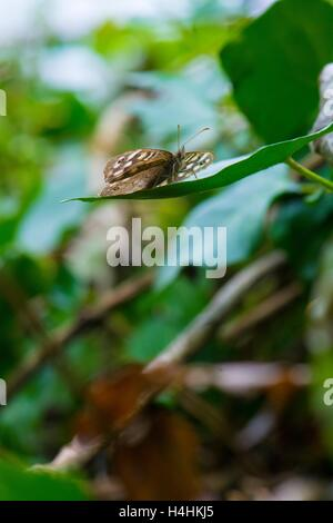 Speckled wood butterfly, Pararge aegeria. - Stock Photo