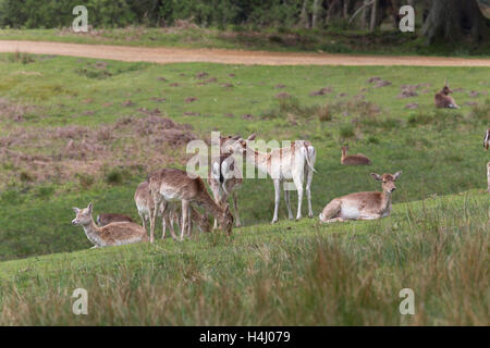 Fallow Deer; Dama dama Herd; Bolderwood; New Forest; UK - Stock Photo