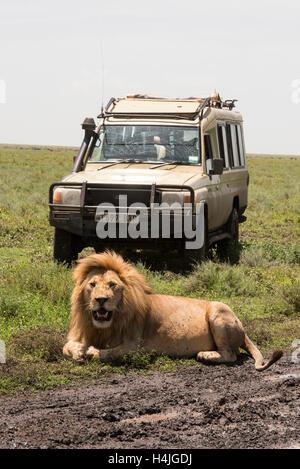 Tourists on safari watching a lion (Panthero leo), Serengeti National Park, Tanzania - Stock Photo
