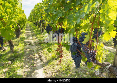 Red black grapes in French vineyard on rows of green vines ready for harvest vendange winemaking in France - Stock Photo