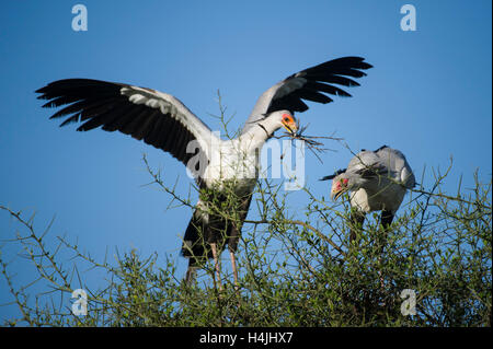 Pair of Secretarybirds making a nest, Sagittarius serpentarius, Serengeti National Park, Tanzania - Stock Photo
