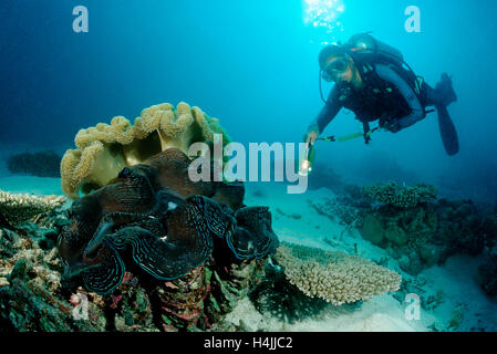 Diver and Fluted Giant Clam (Tridacna squamosa), Indian Ocean, Maldives - Stock Photo
