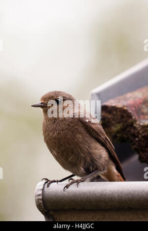 Female Black redstart (Phoenicurus ochruros gibraltariensis) - Stock Photo