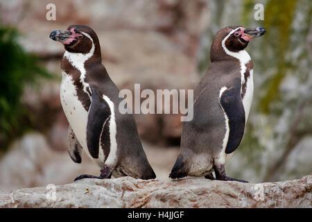 Humboldt penguins (Spheniscus humboldti) - Stock Photo