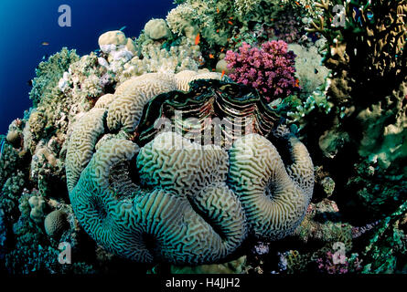 Fluted giant clam (Tridacna Squamosa) in coral reef, Red Sea, Sudan - Stock Photo