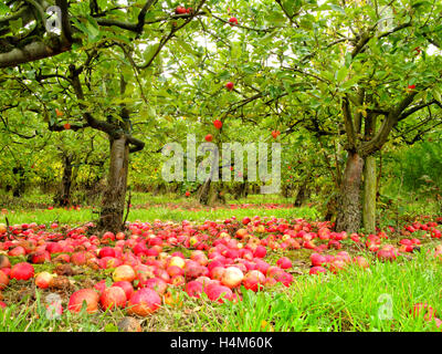 English autumn organic orchard of fallen ripe and rotten red apples lying on the ground under the trees in grass - Stock Photo