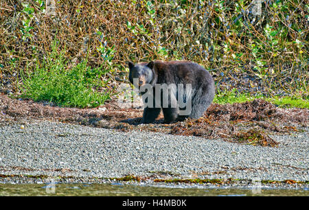 American black bear (Ursus americanus), Ucluelet, Pacific Rim National Park Reserve, Vancouver Island, British Columbia, - Stock Photo
