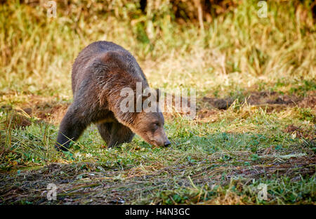 Grizzly bear, Ursus arctos horribilis, Great Bear Rainforest, Knight Inlet, Johnstone Strait, British Columbia, - Stock Photo