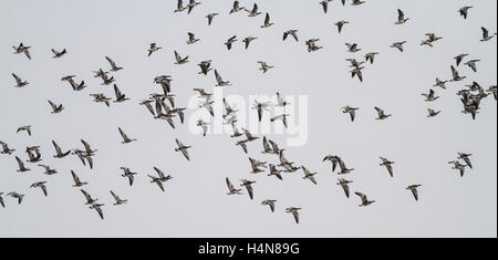 Flock of barnacle geese in flight and overwintering at Loch Strathbeg, near Fraserburgh, Scotland - Stock Photo