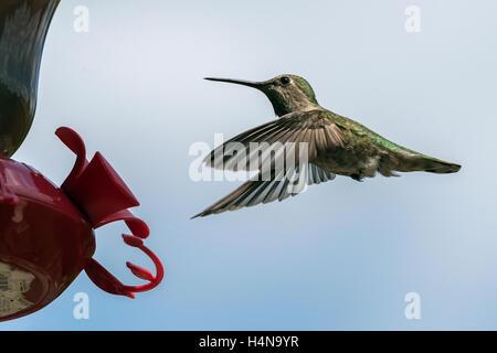 Female Anna's hummingbird at feeder, Vancouver, British Columbia - Stock Photo