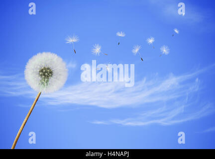 fluffy Dandelion flower with seeds blowing away on a blue sky background - Stock Photo