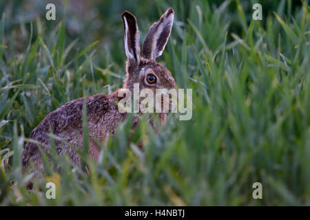 Brown Hare / European Hare ( Lepus europaeus ) hiding in, feeding on winter wheat, at dusk, late in the evening, - Stock Photo