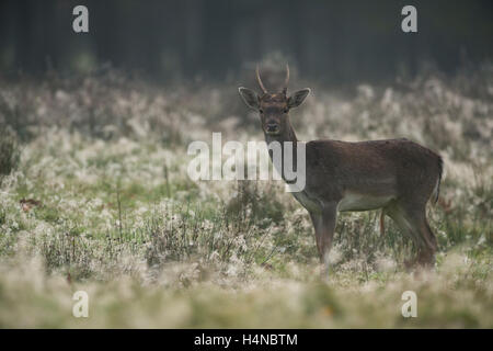 Fallow Deer (Dama dama), young animal with pointy antlers at crack of dawn, on a dew covered natural meadow, in - Stock Photo