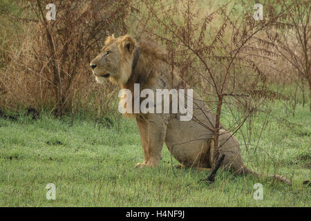 Old male lion with scars sit in the grass - Stock Photo