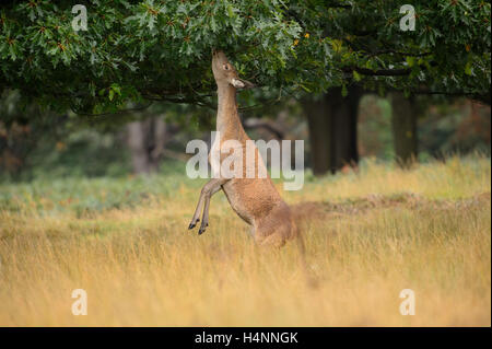 Female red deer standing on her hind legs to reach and eat oak leaves. Richmond Park, London, UK. - Stock Photo