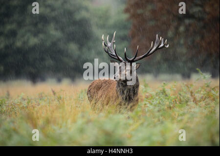 Red deer stag in the rain during the rutting season. Richmond Park, London, UK - Stock Photo
