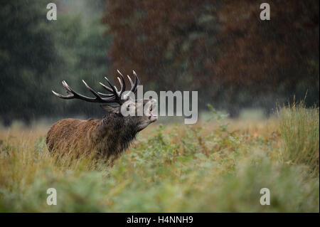 Calling red deer stag in the rain during the rutting season. Richmond Park, London, UK - Stock Photo