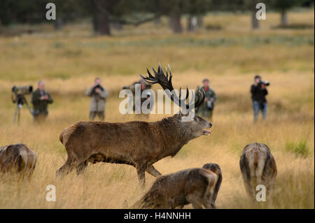 Red deer stag in Richmond Park, UK with wildlife photographers in the background. - Stock Photo