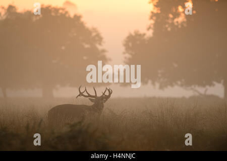 Red deer stag calling in early misty morning at sunrise, Richmond Park, London, UK. - Stock Photo