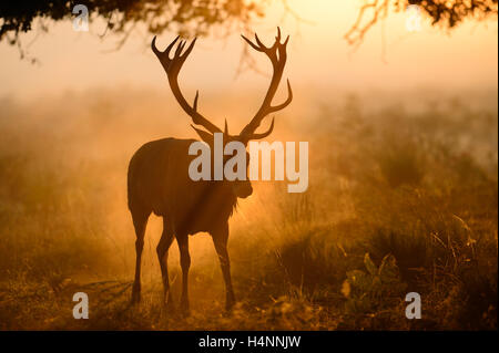 Red deer stag walking in sunlight on a misty morning. His antlers form a shadow in the fog in front of his head. Richmond Park, UK.