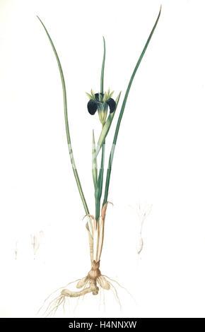 Iris tuberosa, Hermodactylus tuberosus; Snake's head Iris, Widow Iris, Redouté, Pierre Joseph, 1759-1840, les liliacees - Stock Photo