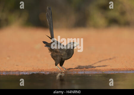 Groove-billed Ani (Crotophaga sulcirostris), adult drinking, Rio Grande Valley, South Texas, Texas, USA - Stock Photo