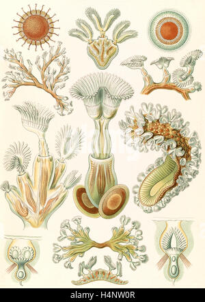 Illustration shows aquatic invertebrates. Bryozoa. - Moostiere, 1 print : color lithograph ; sheet 36 x 26 cm., - Stock Photo