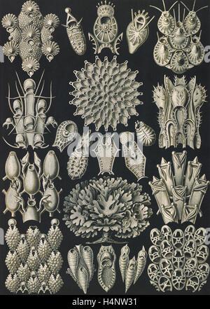 Illustration shows aquatic invertebrates. Bryozoa. - Woostiere, 1 print : photomechanical ; sheet 36 x 26 cm., 1904. - Stock Photo