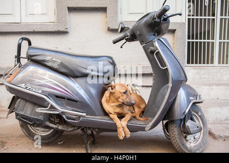 Amusing witty photo of Dog as it rests on a scooter motorbike in Old walled city of Ahmedabad, Gujurat, India.South,Asia, - Stock Photo