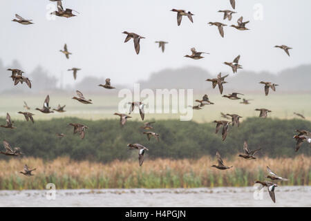 Flock of wigeon (anas penelope), overwintering in their thousands at Loch Strathbeg, near Fraserburgh, Scotland, - Stock Photo