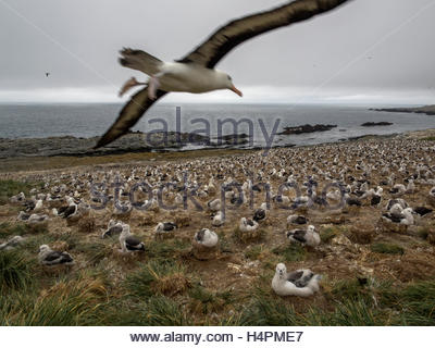 A black-browed albatross, Thalassarche melanophrys, flying over a coastal rookery, or breeding colony. - Stock Photo