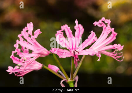 Undulate pink petals and strong growth distinguish the Autumn flowering bulb, Nerine bowdenii 'Mark Fenwick' ('Fenwick's - Stock Photo