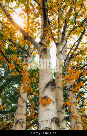 deciduous trees autumn blaze maple tree biology essay Silver maple, and other deciduous trees red maple has long been valued as an ornamental tree (shade, specimen, autumn an online encyclopedia of life.