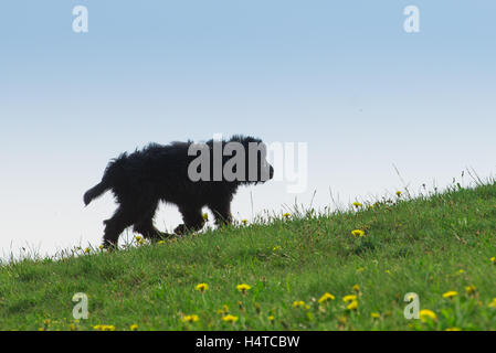Black dog puppy in the grass walking alone - Stock Photo
