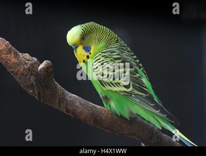 Male Australian Budgerigar Parakeet (Melopsittacus undulatus) against a black background - Stock Photo