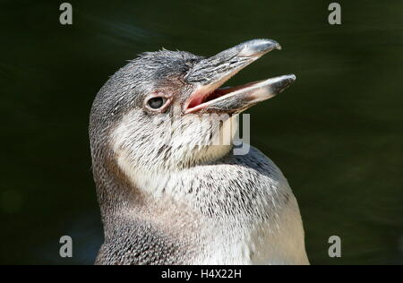 Juvenile South American Humboldt Penguin (Spheniscus humboldti) - Stock Photo