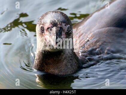Juvenile Humboldt  or  Peruvian Penguin (Spheniscus humboldti) swimming, closeup of the head after surfacing