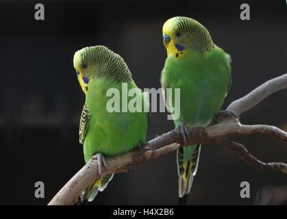 Pair of male Australian Budgerigar Parakeets (Melopsittacus undulatus) - Stock Photo