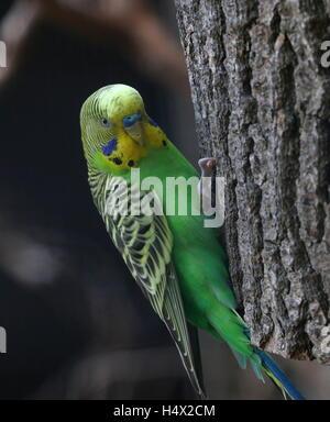 Male Australian Budgerigar Parakeet (Melopsittacus undulatus - Stock Photo