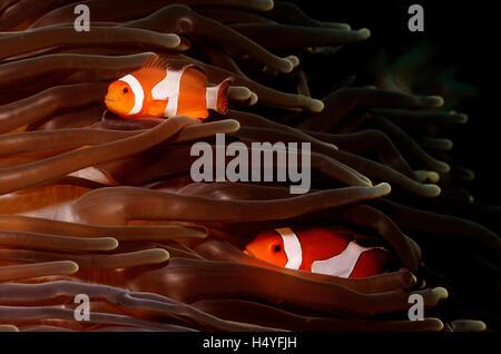 Ocellaris Clownfish, Clownfish or False Percula Clownfish (Amphiprion ocellaris) Komodo, Indian Ocean, Indonesia - Stock Photo